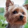 Wyroki za znęcanie się nad psami. Kopał i dusił małego yorka
