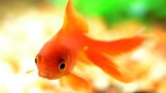 Złota rybka spełni życzenia w Centrum Handlowym Auchan Bydgoszcz