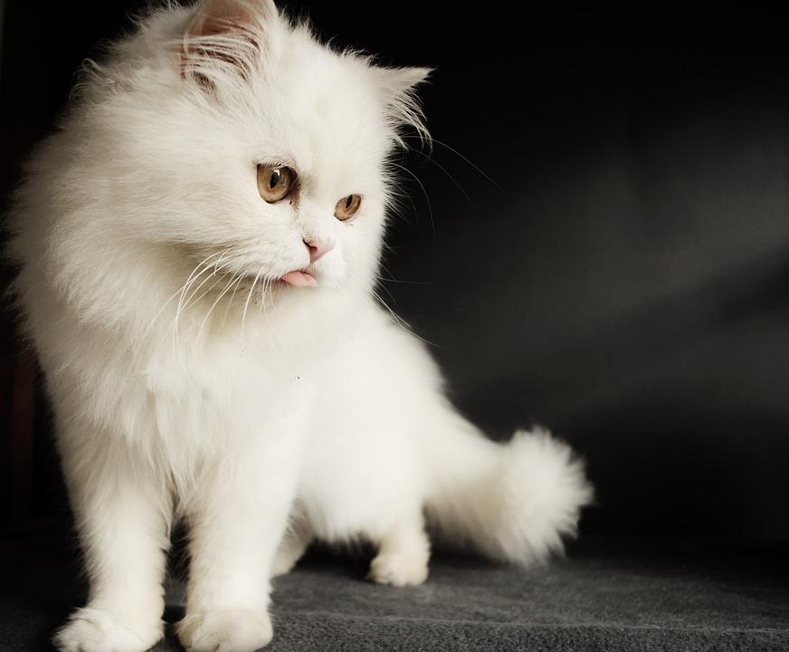 Koty rasowe na pokazie w Zielonych Arkadach
