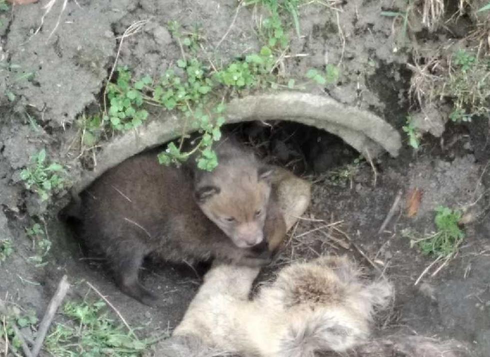 Małe liski potrzebowały pomocy. Są już bezpieczne