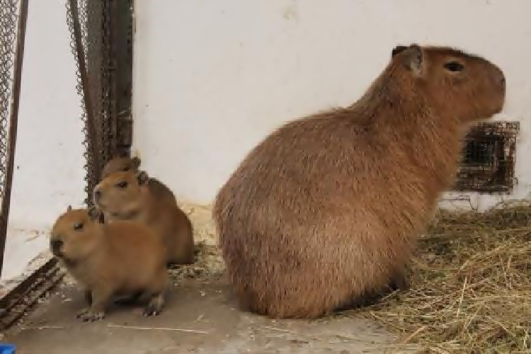 W bydgoskim ZOO przyszły na świat kapibary i owce wrzosówki